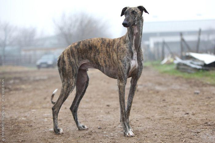 Spanish Greyhound | Dog Breeds | Pinterest