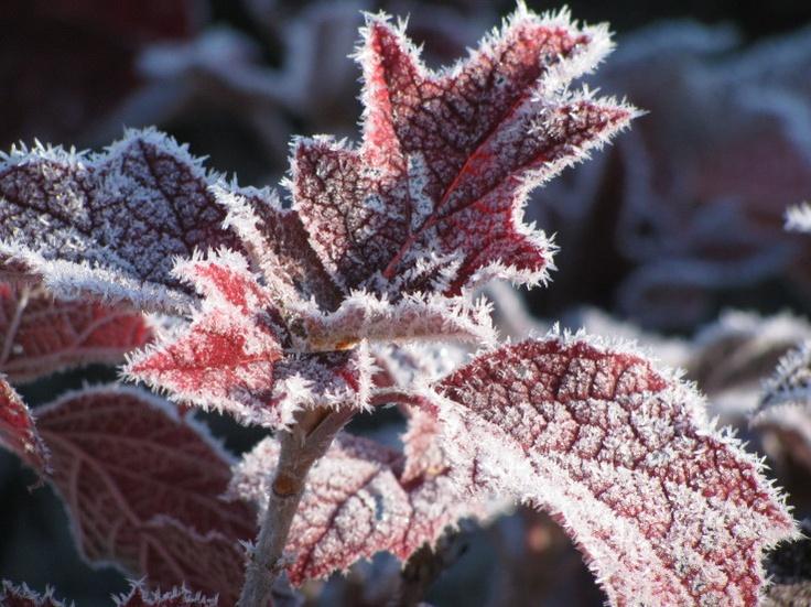 hello hydrangea... Oak Leaf Hydrangeas In Winter