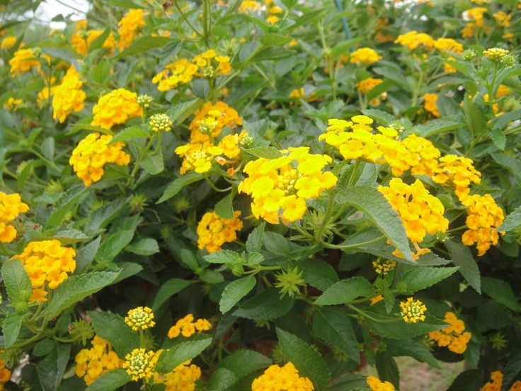 lantana very hearty plant outdoor living gardening