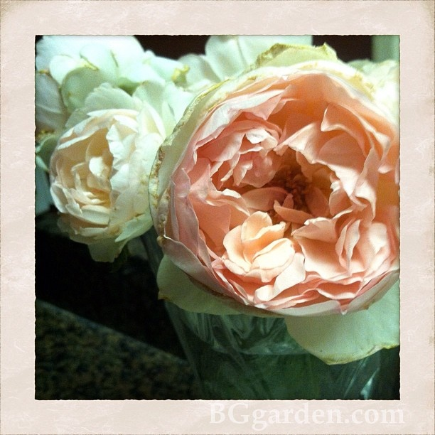 Now I can have peonies all summer long ... with my #DavidAustin roses!