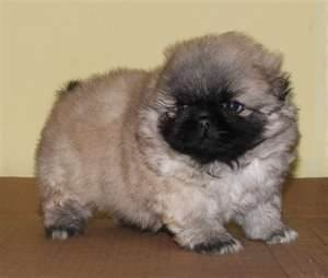 Search results for pekingese dogs pekingese the best dogs eve