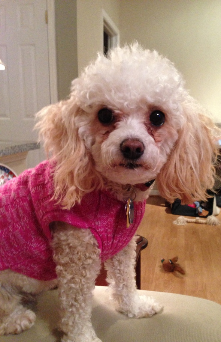 Toy Poodle | BABY POODLES | Pinterest