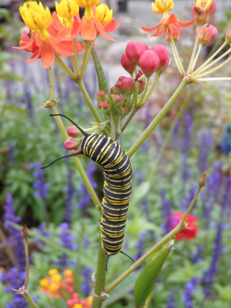 Monarch Caterpillar On Tropical Milkweed Butterfly House Pinterest