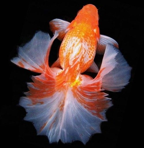 This is what fancy goldfish look like!! Fabulous Fish Pinterest