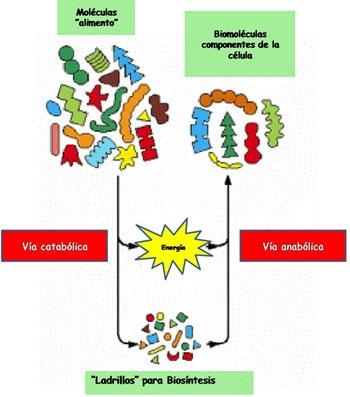 reacciones quimicas anabolicas