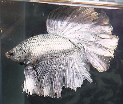 New year sale young rosetail halfmoon male live betta fish for Live fish for sale online