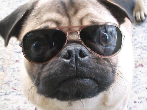 Pug Γυαλιά...