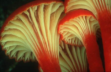 Hygrocybe cantharellus