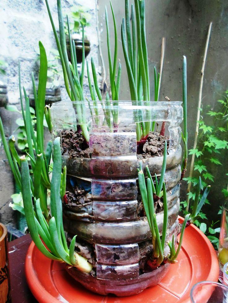 Onion growing indoors in the garden pinterest for Indoor gardening onions