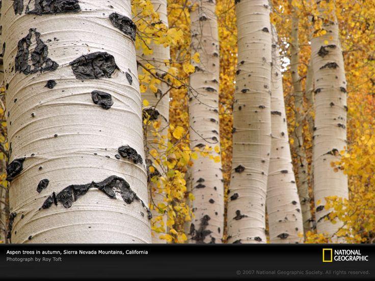 roy toft photo of aspen trees in sierra nevada mountains, california.