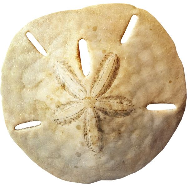NLD Sand Dollar.png liked on Polyvore | Polyvore | Pinterest