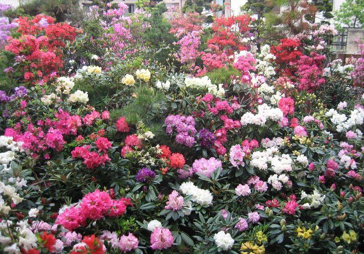 Japanese Azalea Garden Japan Pinterest