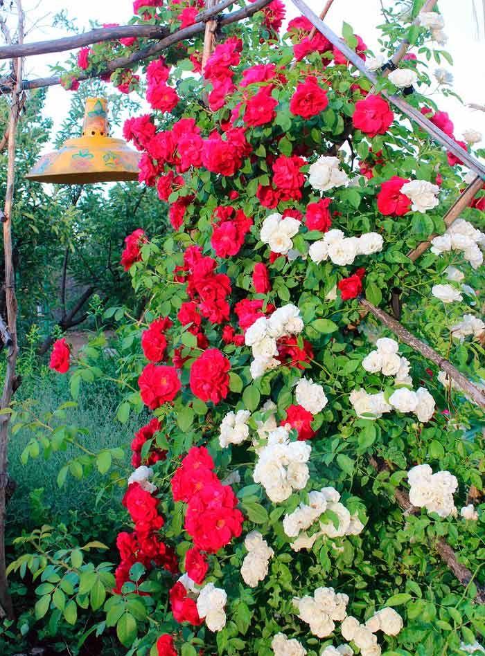 Роза сорт цветет все лето
