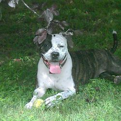 Maasai is an adoptable American Staffordshire Terrier Dog in Glen Cove ...