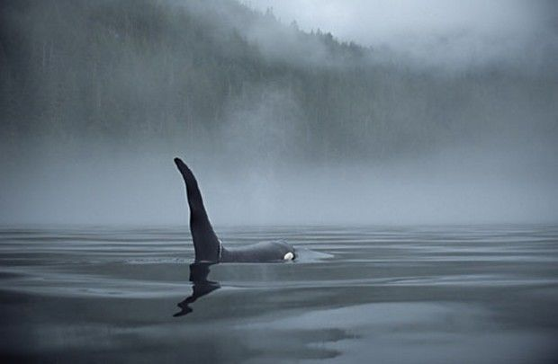 Killer whale coming up close on a foggy morning vancouver island bc