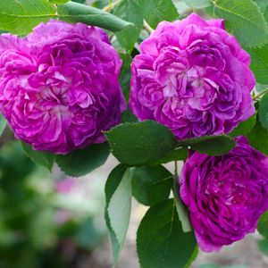 Types of Roses | Landscaping, Gardening, Flowers,Trees ...