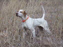 pheasant hunting dog breeds