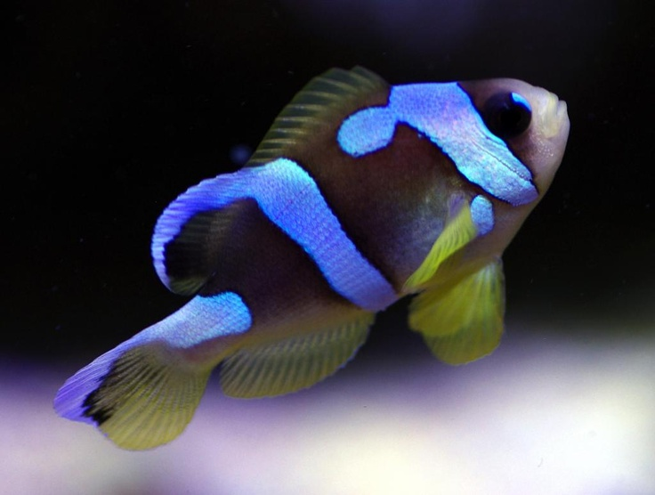 ORA Spotcinctus Clownfish | Designer Clownfishes | Pinterest