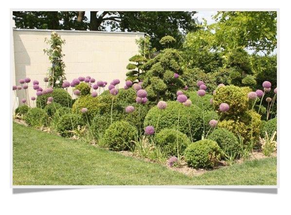 Ail d ornement et buis les fleurs du jardin pinterest for Jardin ornement fleurs