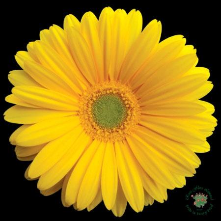 Yellow gerber daisy | Flowers | Pinterest