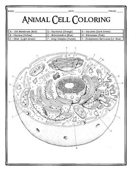 Cell Cycle Coloring Worksheet Key Coloring Pages