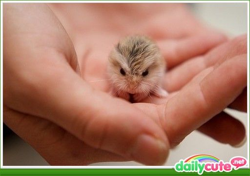 baby hamster funny pets pinterest