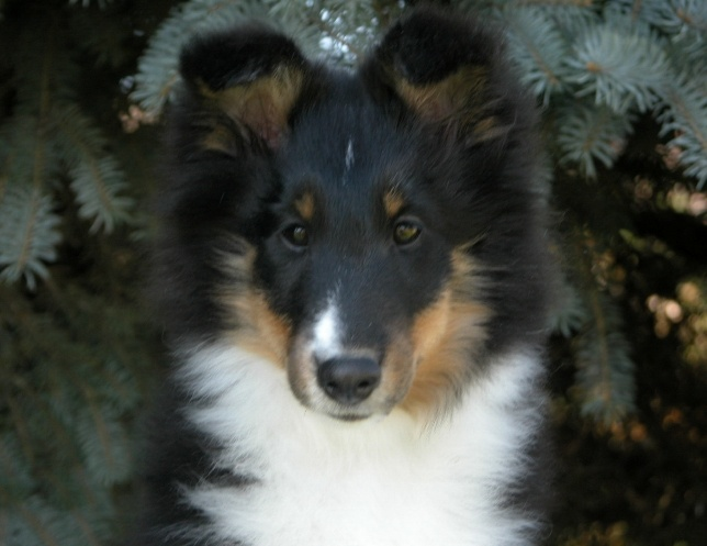 Blue Heaven Shelties