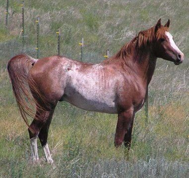 strawberry Roan | A heart for horses | Pinterest - photo#38