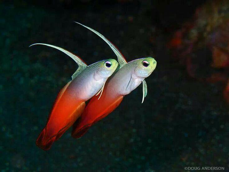 Dartfish Beautiful Animals Pinterest