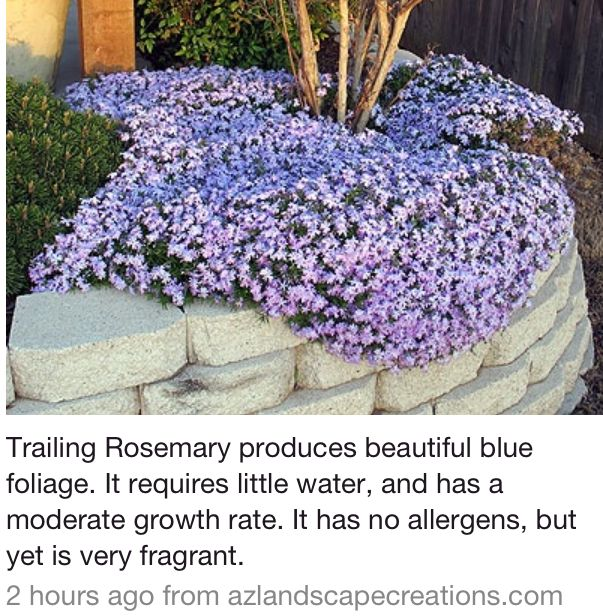Rosemary ground cover landscaping ideas pinterest