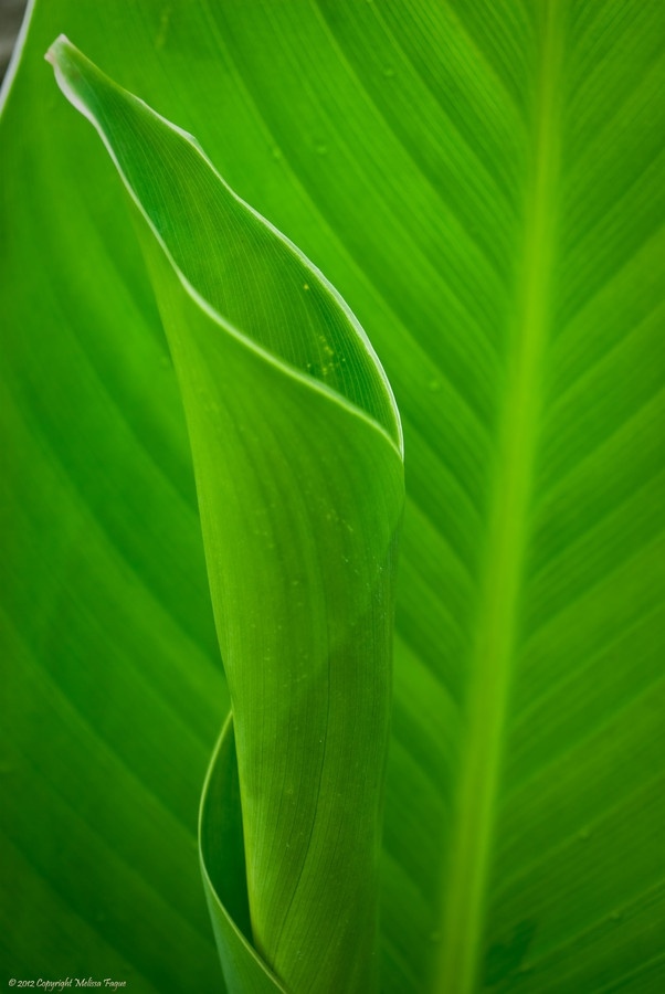 how to draw calla lily leaves