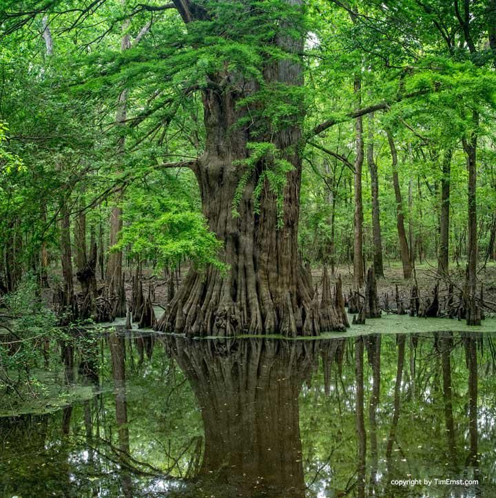 The champion cypress tree - the largest living thing in Arkansas!   Photo by Tim Ernst
