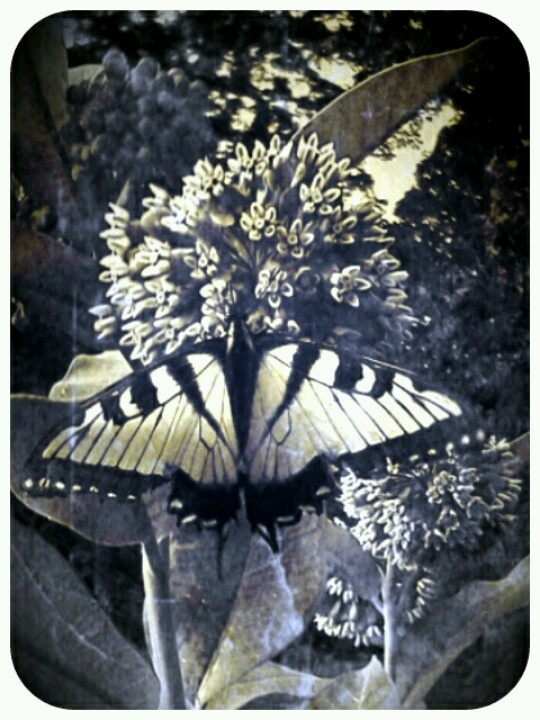 black and white vintage butterflyVintage Butterfly Black And White