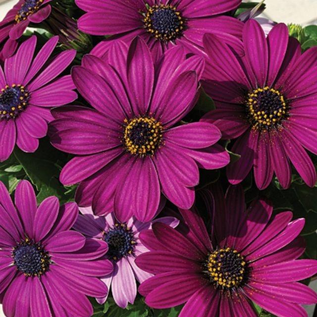 Osteospermum Sunny® Mary | Plant's | Pinterest