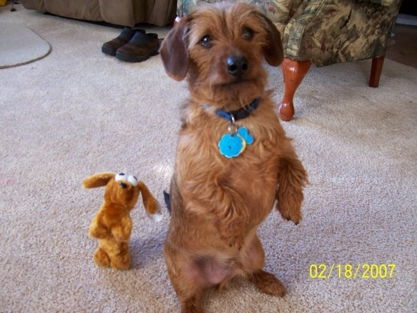 dachshund yorkie mix moose and his mini me toy dachshund yorkie mix ...