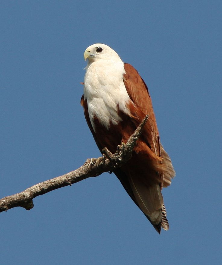 Indian kite bird - photo#11