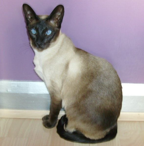 seal point siamese | Siamese Cats | Pinterest