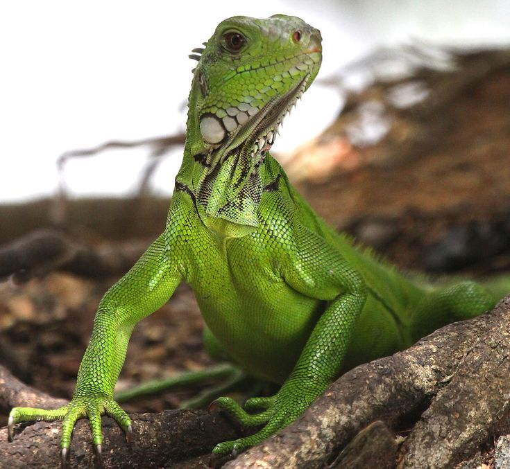 Green Iguana in Trinidad and Tobago