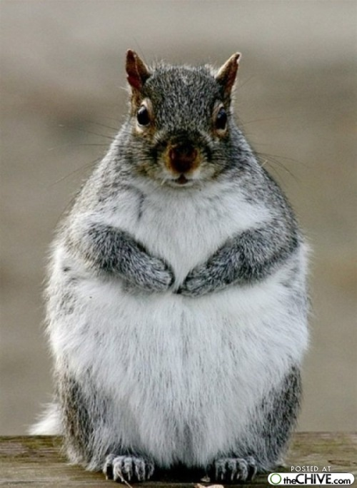 About the fat squirel