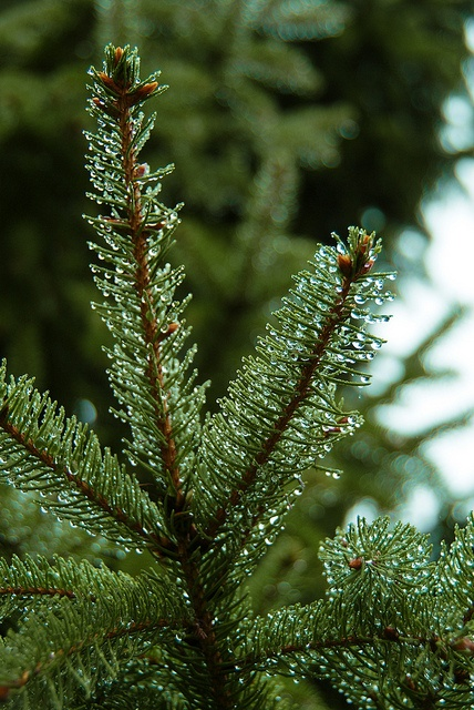 """Raindrops on evergreen"" by BenjaminNeil, via Flickr"
