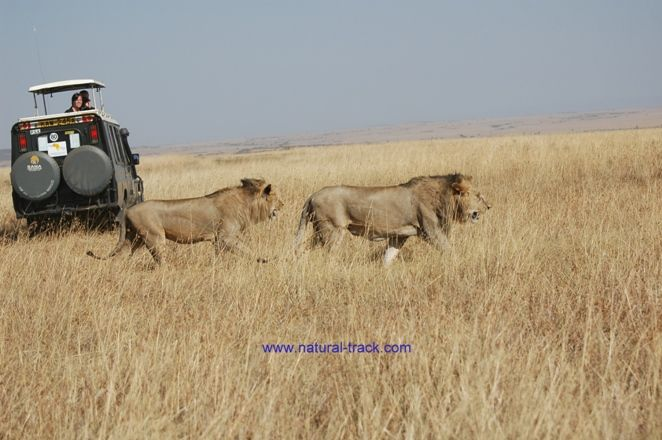 Lions walking together - photo#22