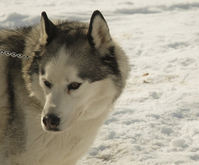 Husky Dog Art Print Signed by Artist Georgigoriani: pinterest.com/pin/567664728001210418