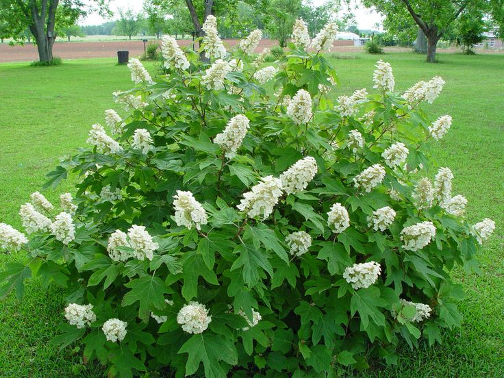 panicles hydrangea includes the most popular The Oakleaf hydrangea    Oakleaf Hydrangea Alice