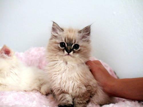 Persian Cat Rescue Illinois