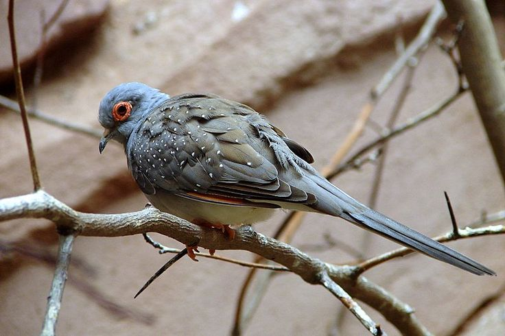 Diamond Dove   Birds   Pinterest
