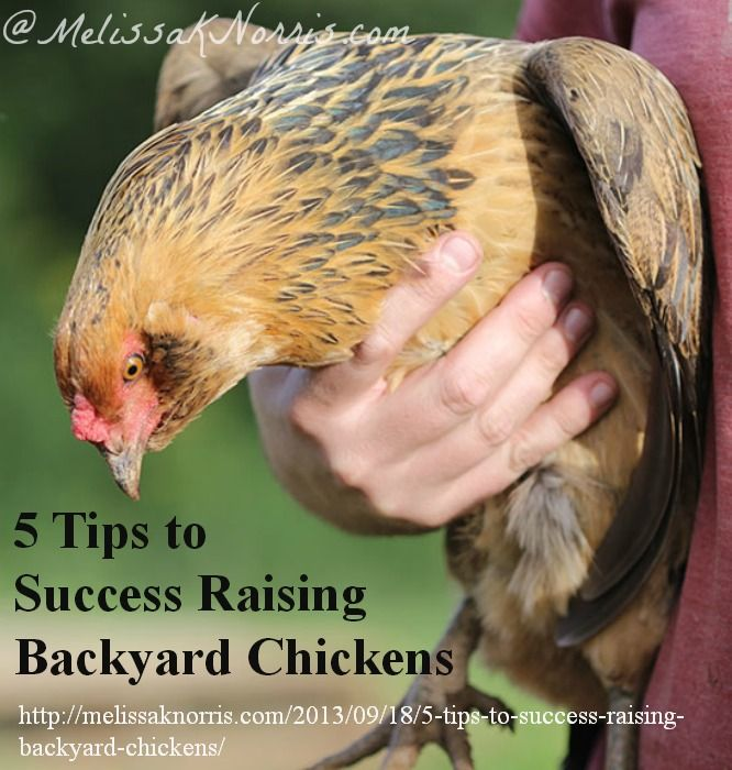 Backyard Chickens Book : Tips to Success Raising Backyard Chickens httpmelissaknorriscom