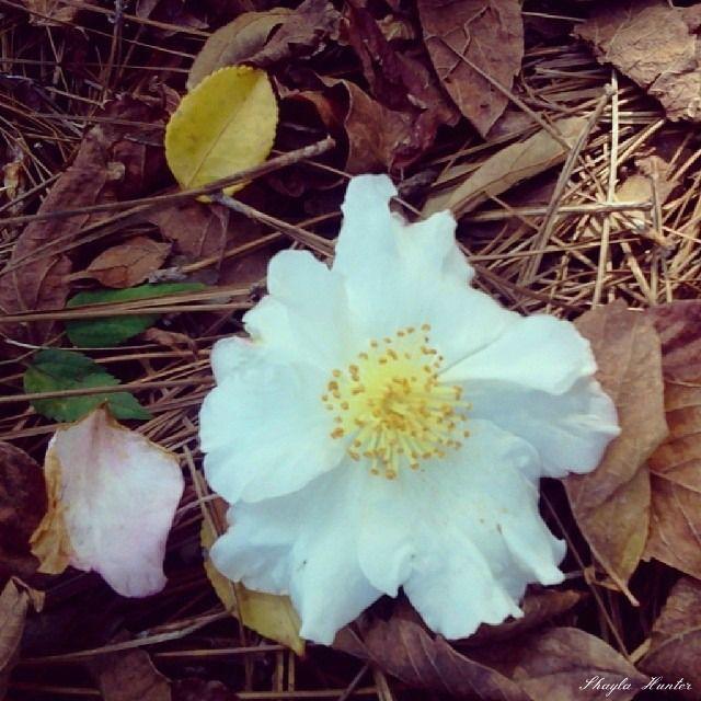 Cherokee Rose Legend