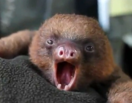Yawning Baby Sloth | Cutest Animals Evar | Pinterest