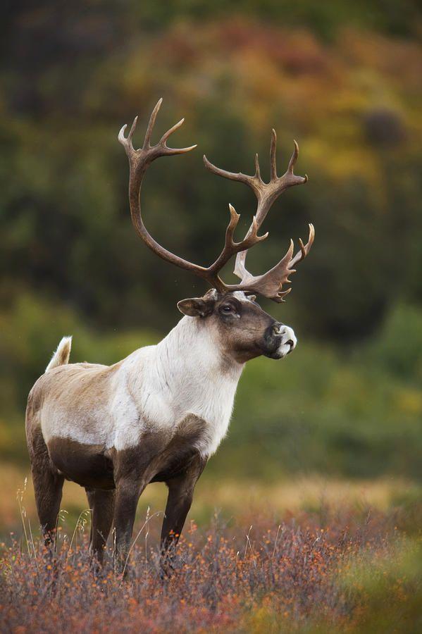 Bull Caribou On Autumn Tundra In Denali Print by Milo Burcham