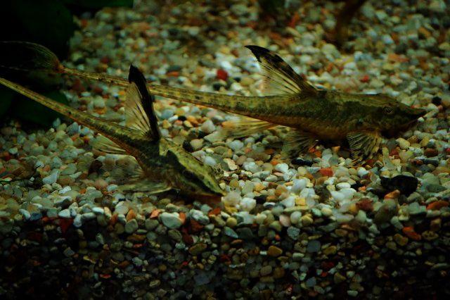 Whiptail Catfish Awesomely Aquatic Pinterest